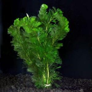 plant jarrarium